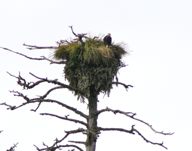 A Bald Eagle's castle on Langara Island, Haida Gwai, Canada